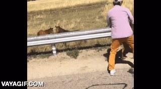 Enlace a Salvando a un potrillo que no sabía como saltar el quita-miedos de una carretera