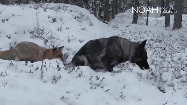 Enlace a Un perro y un zorro jugando en la nieve