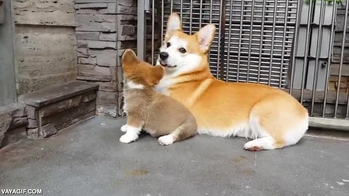 Enlace a Mamá corgi enseñando a su cría a sentarse