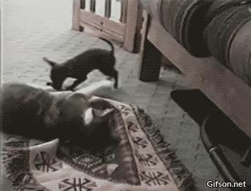 Enlace a Parece una pelea injusta entre un gato gordo y un perro enano, pero espera y verás