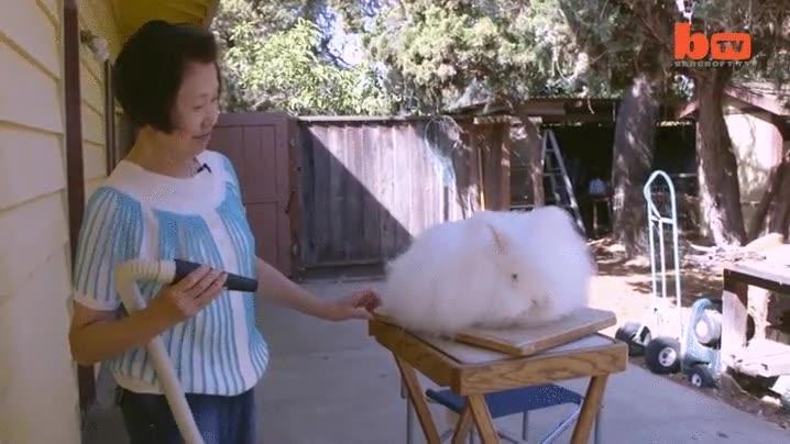 Enlace a El conejo con el pelo más largo del mundo (reconocido por el libro Guinness) en su sesión de pelu