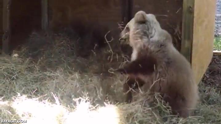 Enlace a Un cachorro de oso jugando con un montón de heno