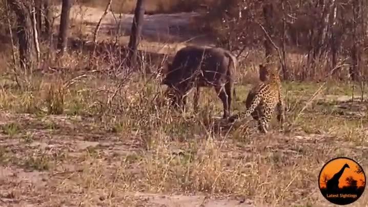 Enlace a Creo que este facóquero tiene un poco de lag y este guepardo es muy bondadoso