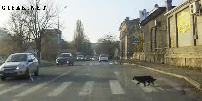 Enlace a Los perros callejeros de esta zona han aprendido a usar los pasos de peatones