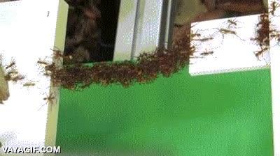 Enlace a Asombroso puente de hormigas, el trabajo en equipo lo es todo
