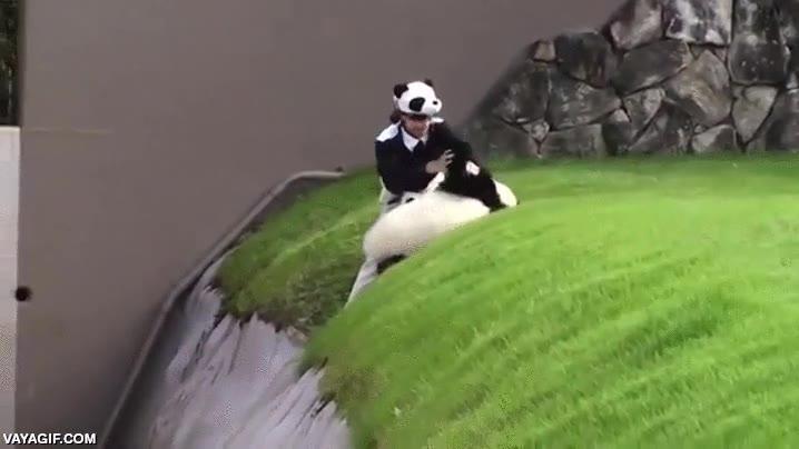Enlace a Un oso panda acaba cayendo al foso de contención en su hábitat y necesita la ayuda de una cuidadora