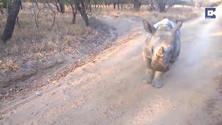 Enlace a Una cría de rinoceronte y una cabra en pugna por la atención de este cámara