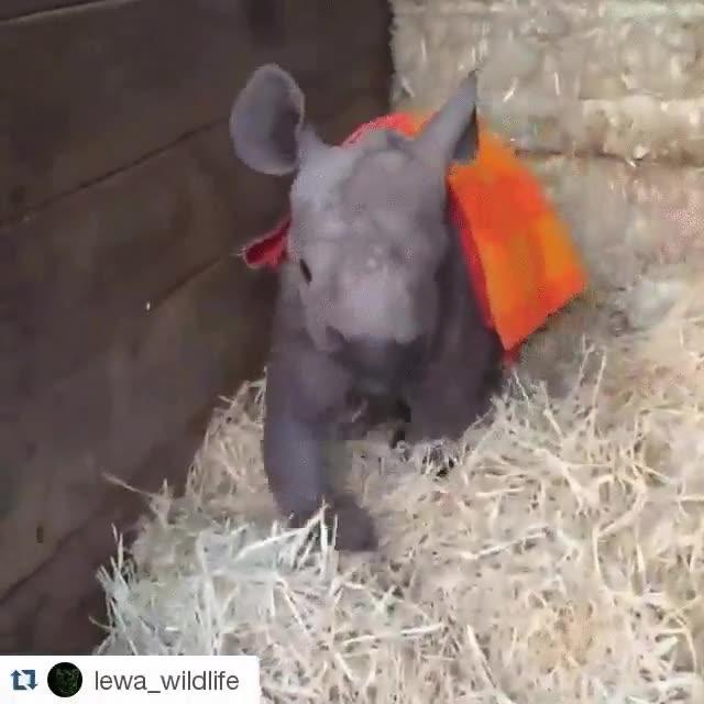 Enlace a Esta cría de rinoceronte da sus primeros pasos en el refugio de animales después de ser rescatada