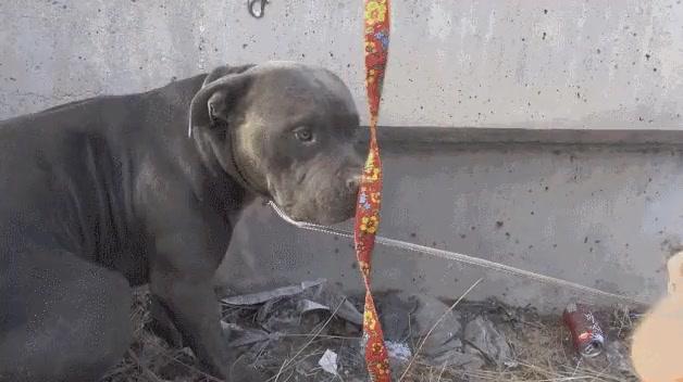 Enlace a Un pitbull abandonado al lado de la autopista acaba siendo rescatado