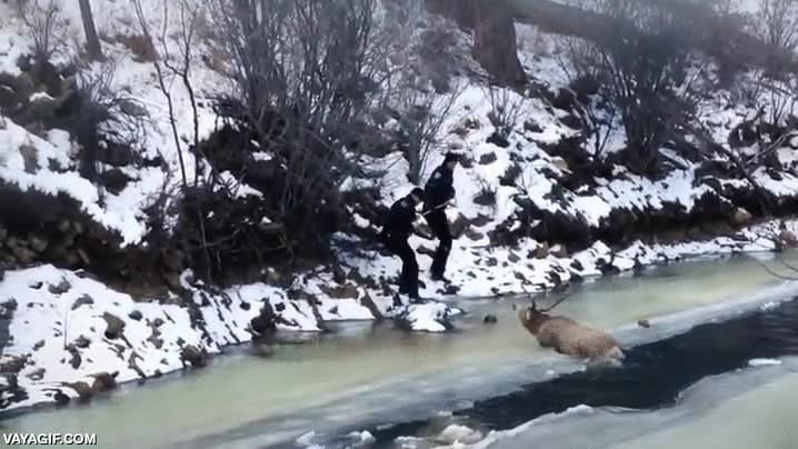 Enlace a Policías rescatando a un ciervo que había caído en un río helado