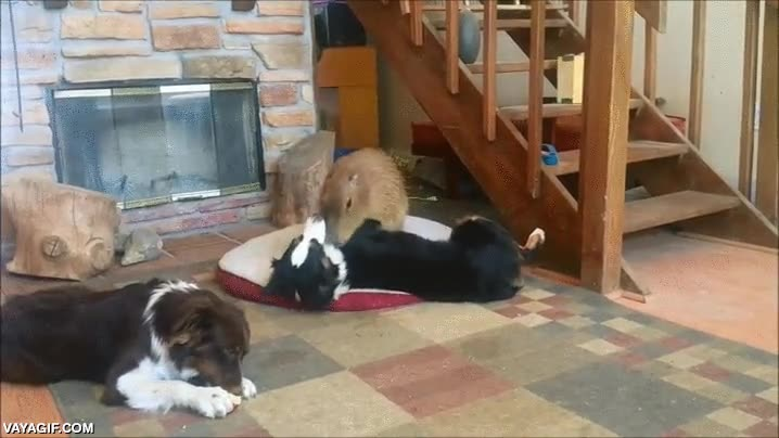 Enlace a Los capibaras son excelentes compañeros para los perros