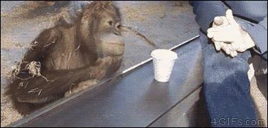 Enlace a Este orangután lo flipa mucho con este ''truco de magia''