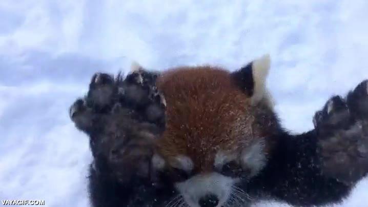 Enlace a Los pandas rojos se lo pasan en grande en la nieve