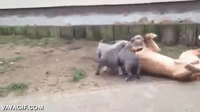 Enlace a Una manada de pitbull atacando sin piedad al más viejo del grupo