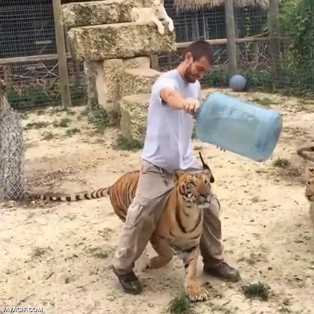 Enlace a Jugando un poquito al límite con este tigre joven