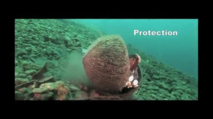 Enlace a Este pulpo se mueve por el fondo marino con dos cocos para usarlos como protección