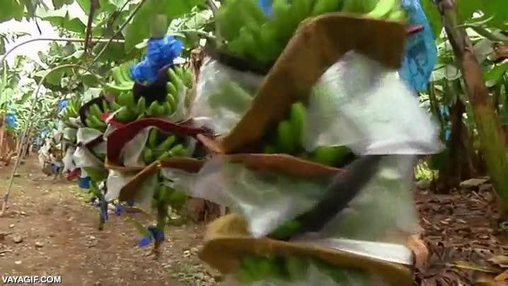 Enlace a Así se recogen los plátanos en esta plantación