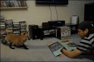 Enlace a Está claro que los zorros son el eslabón intermedio entre los perros y los gatos