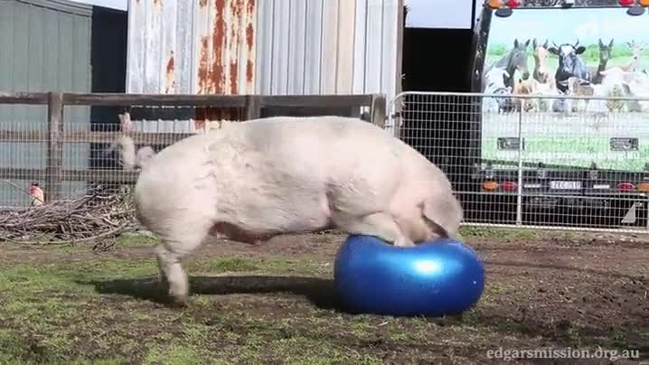 Enlace a Se acabó la diversión para este pedazo de cerdo