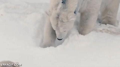Enlace a Este oso polar se vuelve loco con la nieve en el zoo de San Diego