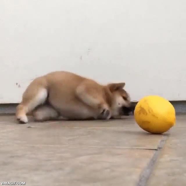 Enlace a La batalla perdida de antemano entre este perro y un limón