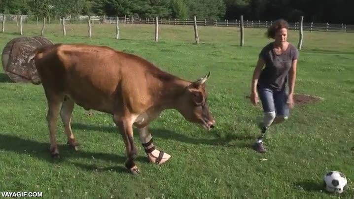 Enlace a Esta vaca con una prótesis en la pata fue rescatada en un santuario de animales y mirad qué feliz es