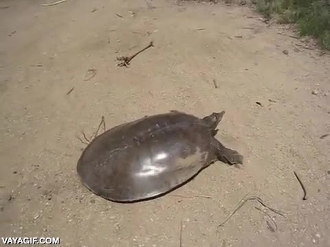 Enlace a La lentitud de las tortugas