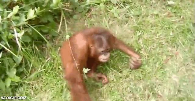 Enlace a Este bebé orangután tiene alma de ninja