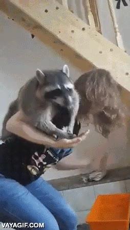 Enlace a Este mapache no está dispuesto a dejar que esta humana le esconda comida