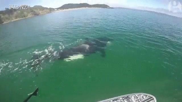 Enlace a Un paddle surfer se encuentra con una orca en alta mar, entre la emoción máxima y el terror absoluto