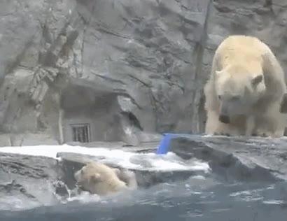 Enlace a Mamá oso polar se lanza al agua para rescatar a su cría que no conseguía salir