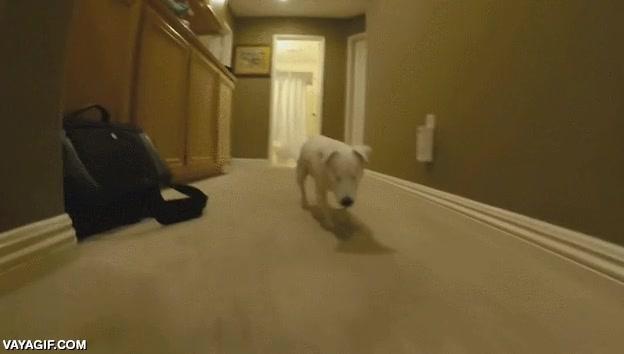 Enlace a Este perro no tiene ojos pero ha aprendido a orientarse por la casa como si no fuera el caso