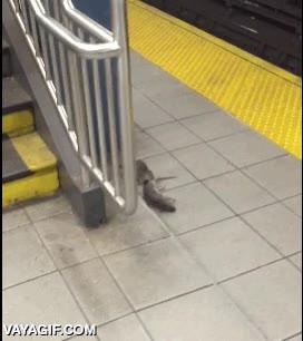 Enlace a Creo que la rata que llevaba un trozo de pizza en las escaleras del metro ha cambiado de dieta