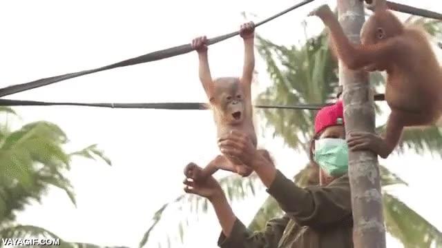 Enlace a El primer día de clase en la escuela de orangutanes