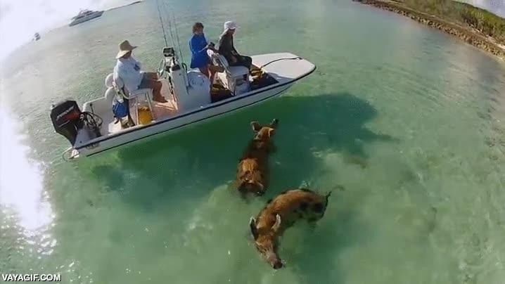 Enlace a Pues resulta que los cerdos son bastante buenos nadadores