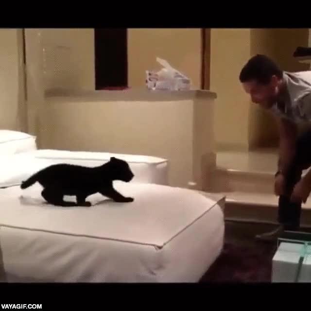 Enlace a Un cachorro de jaguar negro jugando como un gatito