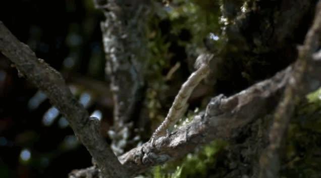 Enlace a La oruga carnívora en plena cacería