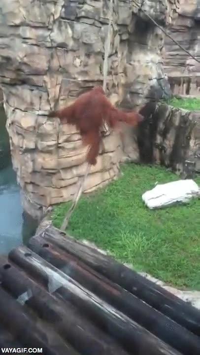 Enlace a Ya quisieras tener la mitad del equilibrio que tiene este orangután