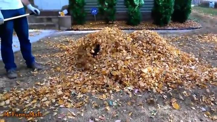 Enlace a El mayor enemigo de este perro, las montañas de hojas secas