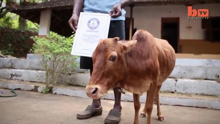 Enlace a Con todos ustedes, la vaca más pequeña (y adorable) del mundo
