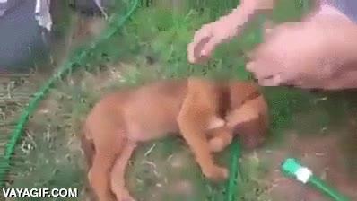 Enlace a El cachorro que se hacía el muerto para intentar evitar el baño