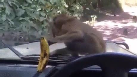 Enlace a Como trollear a un mono. Otra cosa es que salgas con el parabrisas intacto