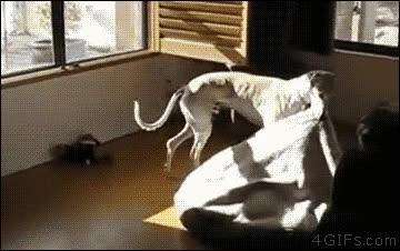 Enlace a Perros listos que trasladan la cama hasta el mejor lugar de la casa
