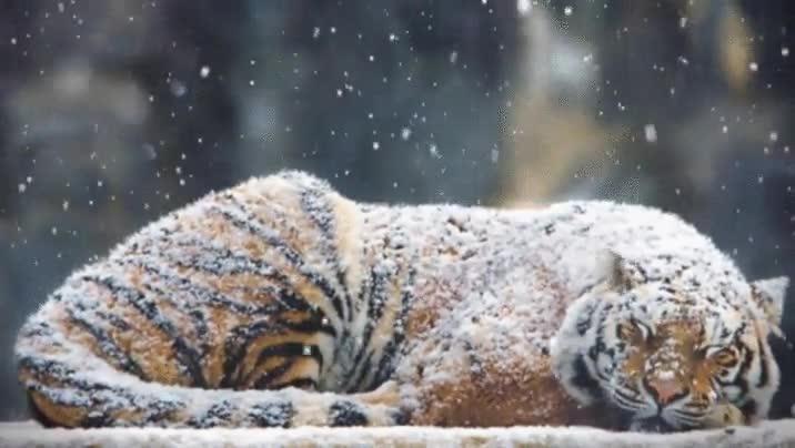 Enlace a Hay tigres que solo necesitan un poco de nieve para ser felices