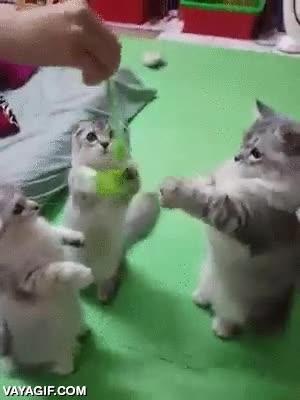 Enlace a Y de esta forma la humanidad se salvó al descubrir el arma capaz de controlar a todos los gatos