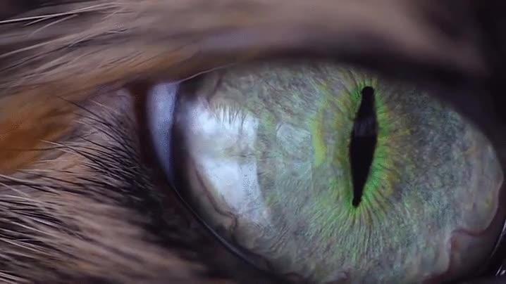 Enlace a El ojo de un gato es de las cosas más bellas que puede captar un objetivo macro