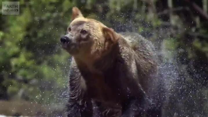 Enlace a Visto así el oso de El Renacido no parece tan fiero