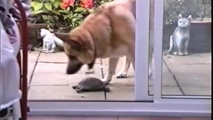 Enlace a Perro echando una mano a una tortuga. Buen rollo entre especies