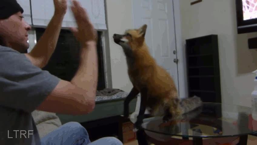 Enlace a ¿Quién dijo que los zorros no pueden aprender trucos?