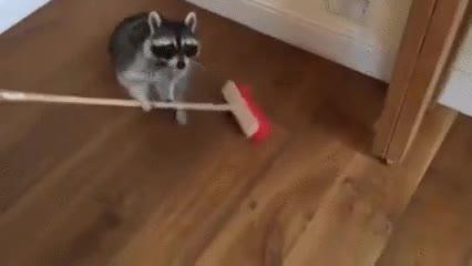 Enlace a Este mapache hace lo que sea con tal de ganarse la paga semanal para salir con los colegas